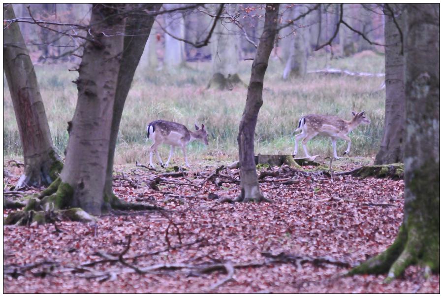 Biches en forêt