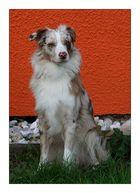 Bicolor Hund vor tricolor Hintergrund