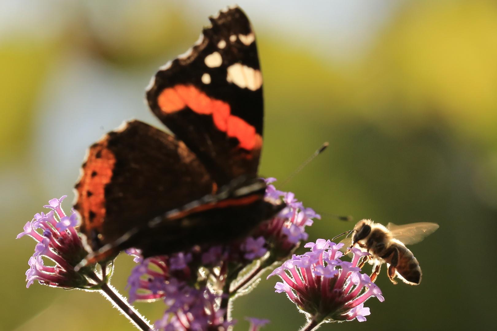 Bien und Schmetterling an Verbene