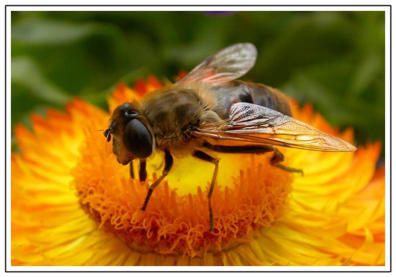 Bienchen auf der Blume