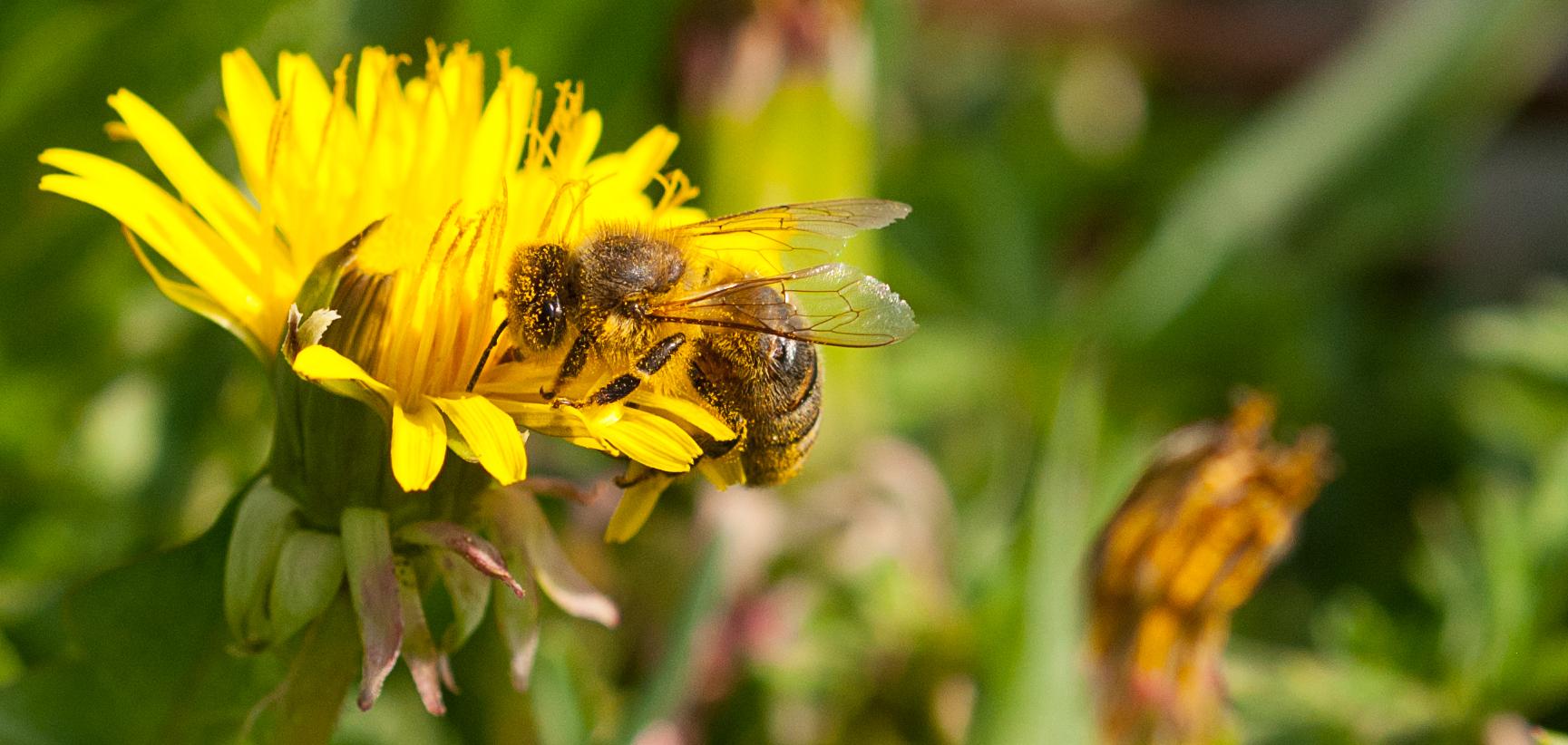 Bienchen auf Honigsuche