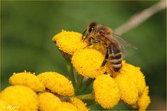 Bienchen auf Rainfarn
