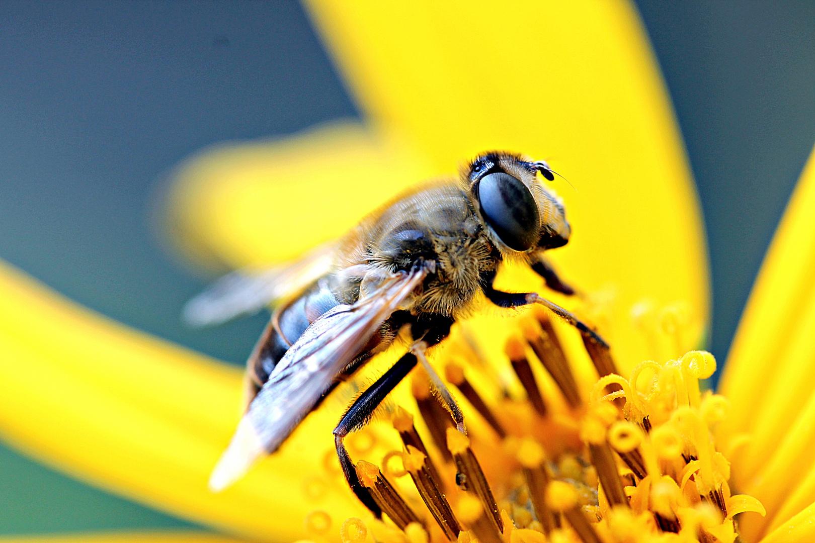 Bienchen auf Topinambur