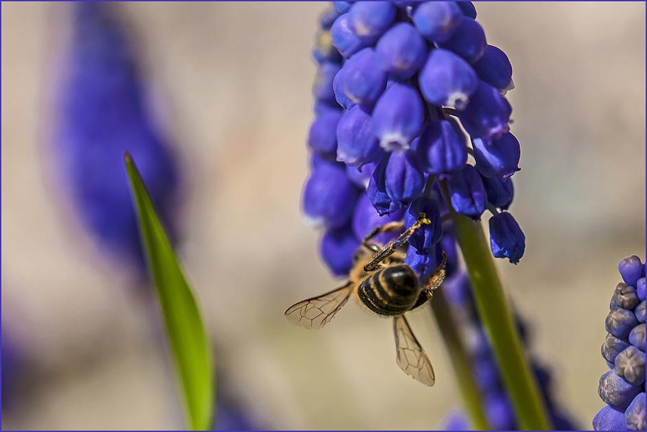 Bienchen auf Traubenhyazinthe