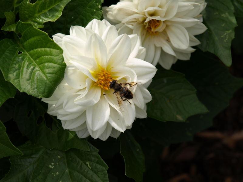 Bienchen bei der Arbeit 2