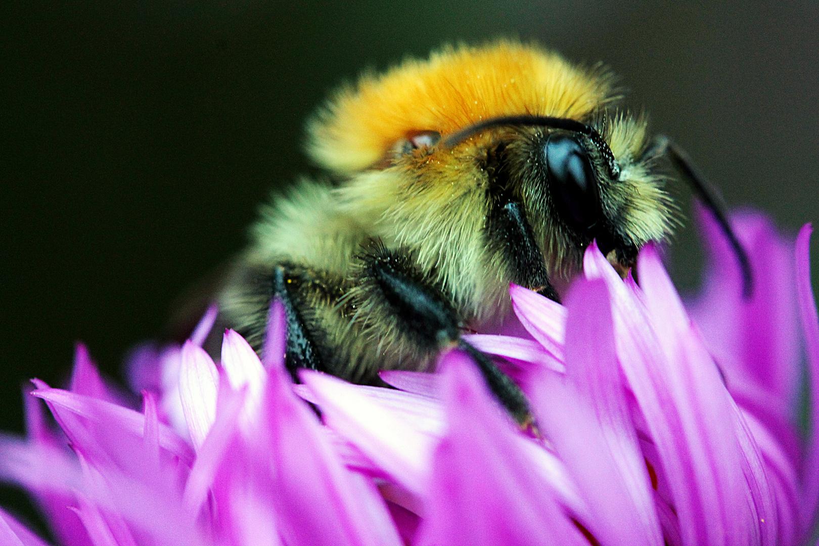 Bienchen im Pelzmantel