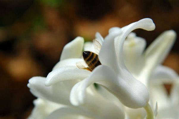 Bienchen in der Blüte