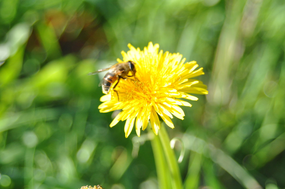 Bienchen in der Oktobersonne
