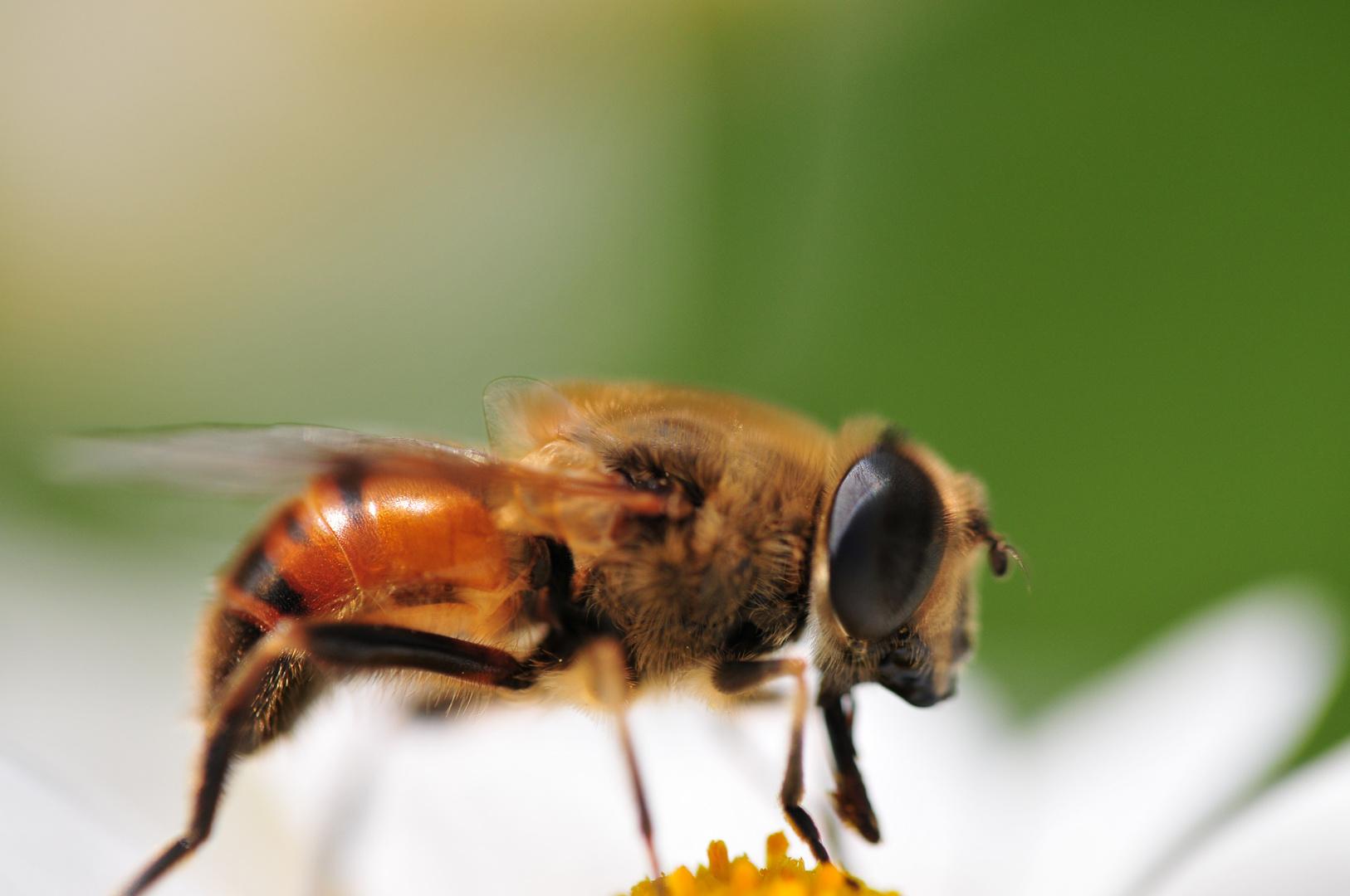 Bienchen mit 60 mm Festbrennweite