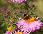 Bienchen Summ im Herbst