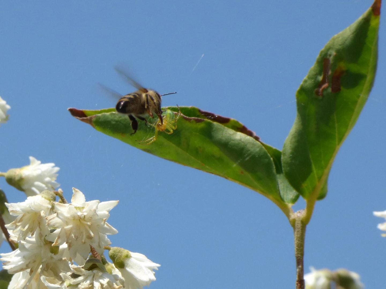 Bienchen trifft Spinne