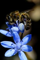 Biene am arbeiten...