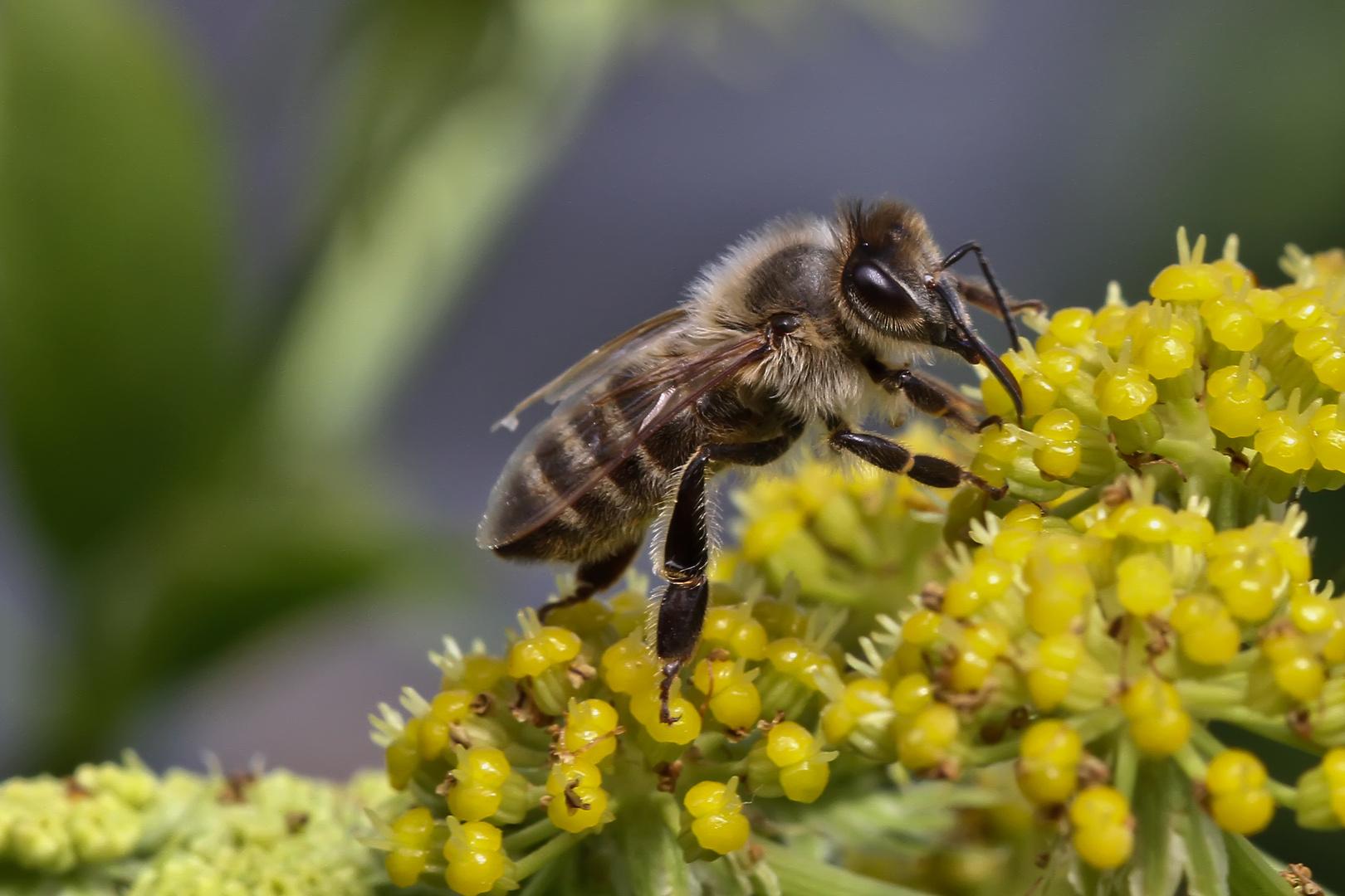Biene am Luststock