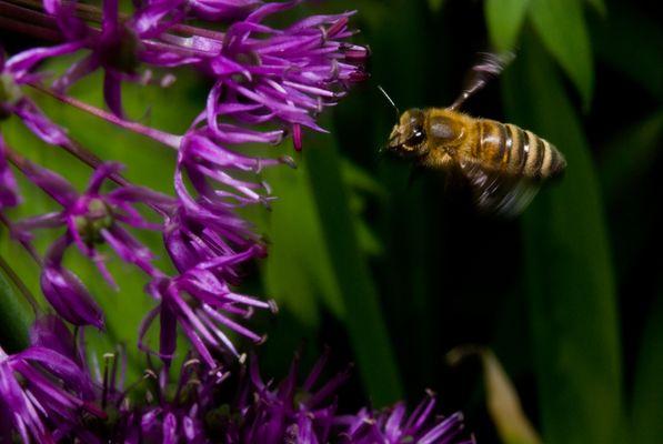 Biene am Zierlauch