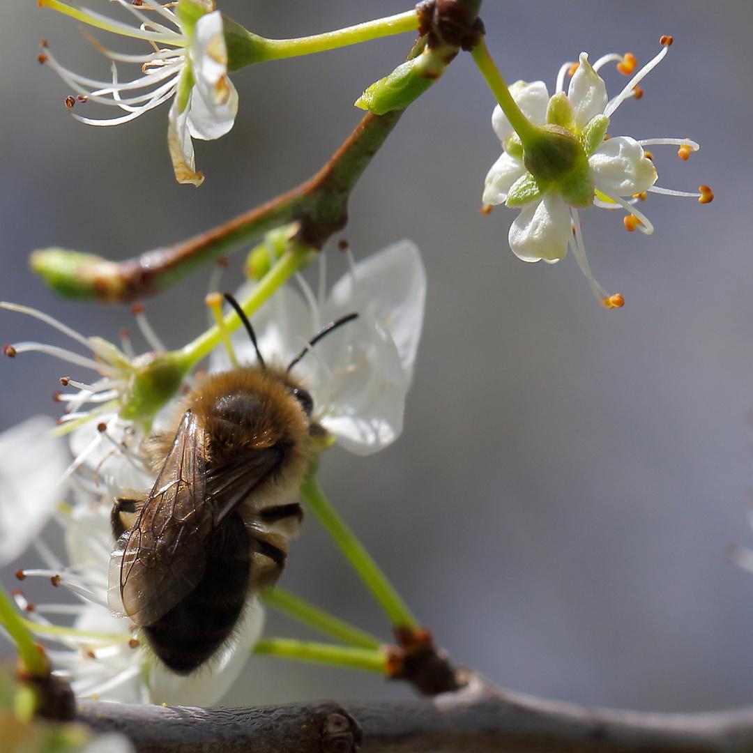 Biene an blühendem Schlehdorn (III)