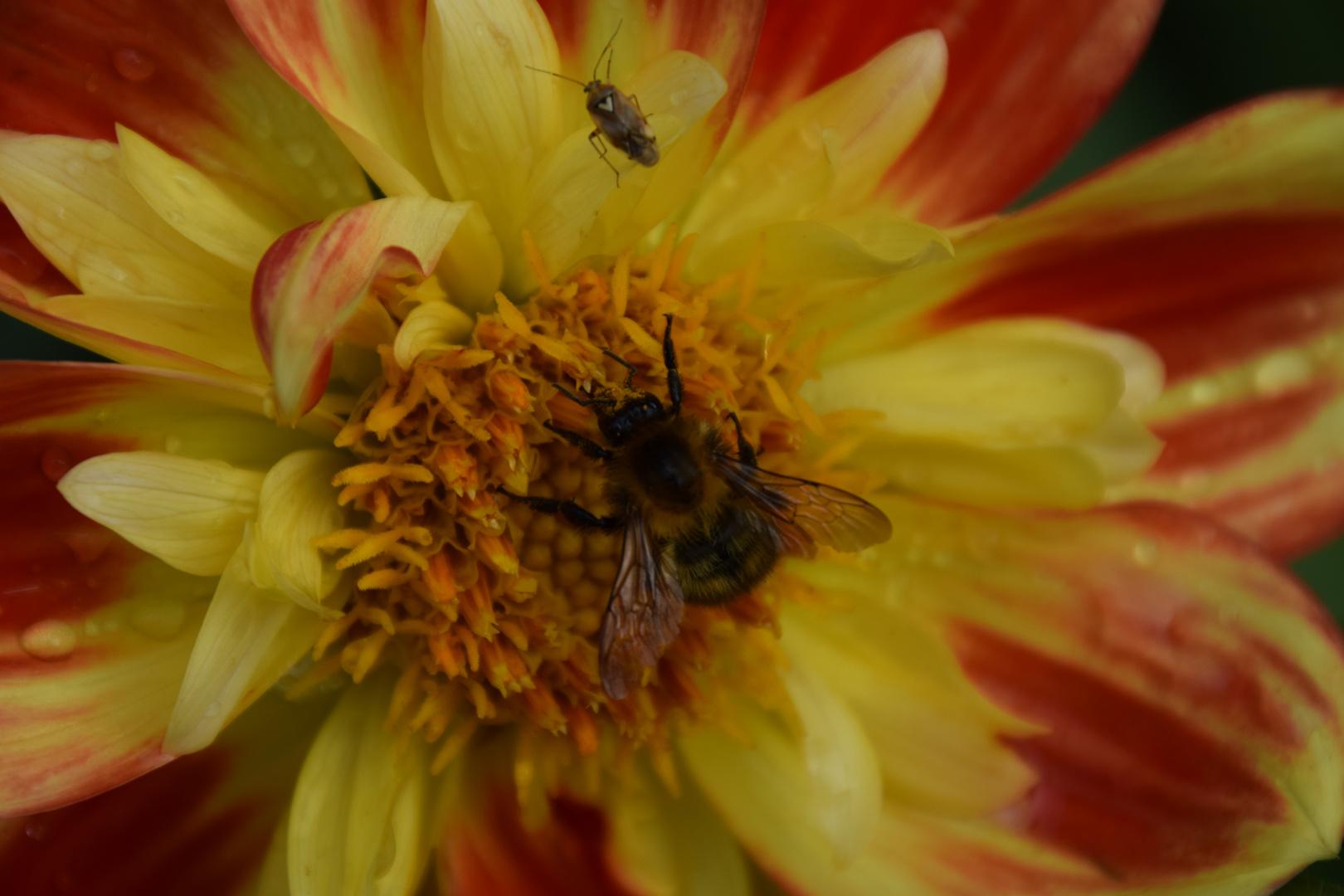 Biene an Blüte1