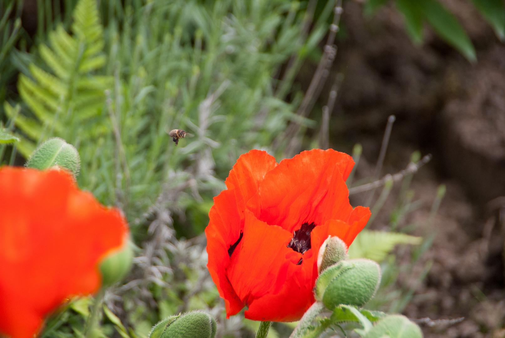 Biene an der Mohnblüte