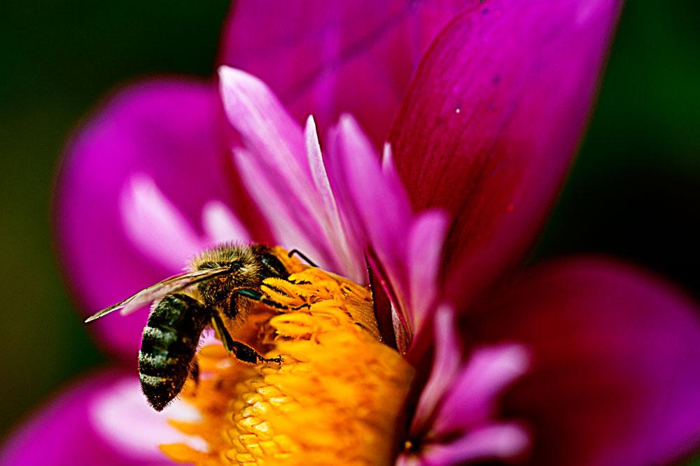 Biene an der Nektar Bar