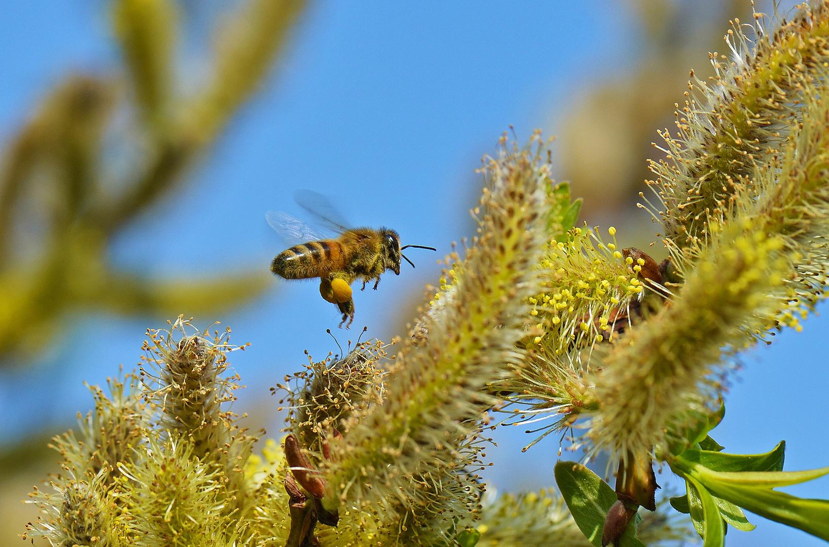 Biene an Drachenweide