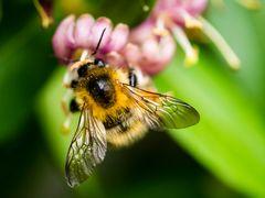 Biene an einer Blüte, Flügel ausgebreitet