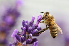 Biene an einer Lavendelblüte