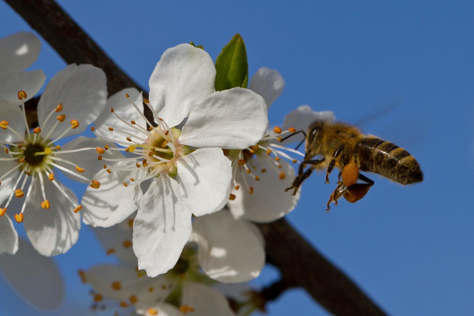 Biene an einer Zwetschgenblüte