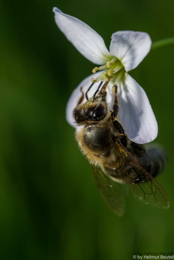 Biene an Weisenschaumkraut