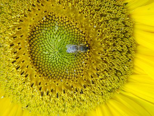 Biene auf 3 Uhr