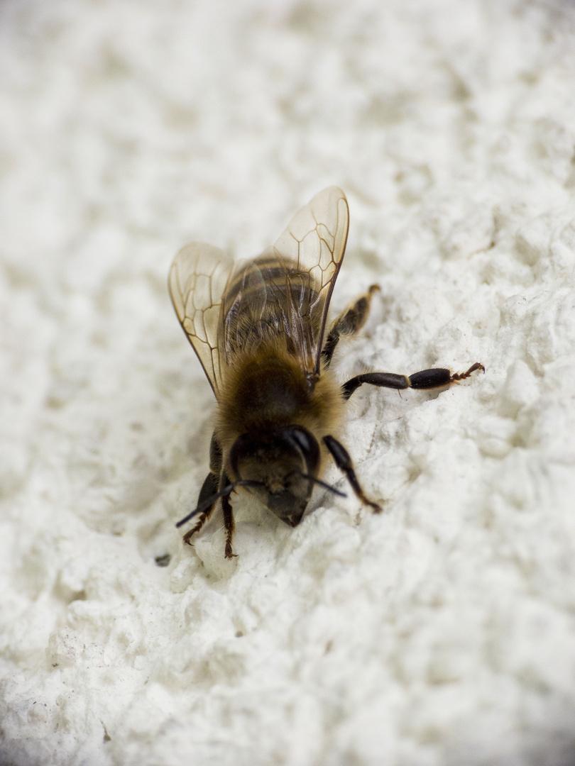 Biene auf Abwegen