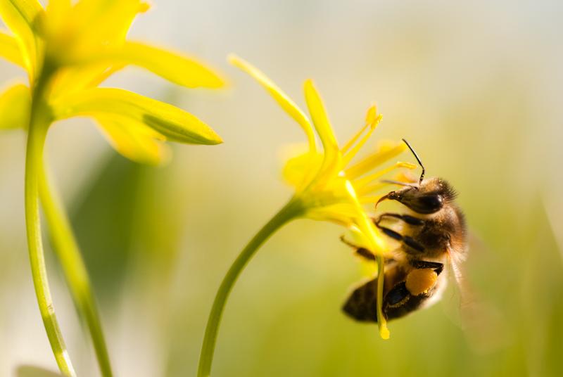 Biene auf Ackergoldstern