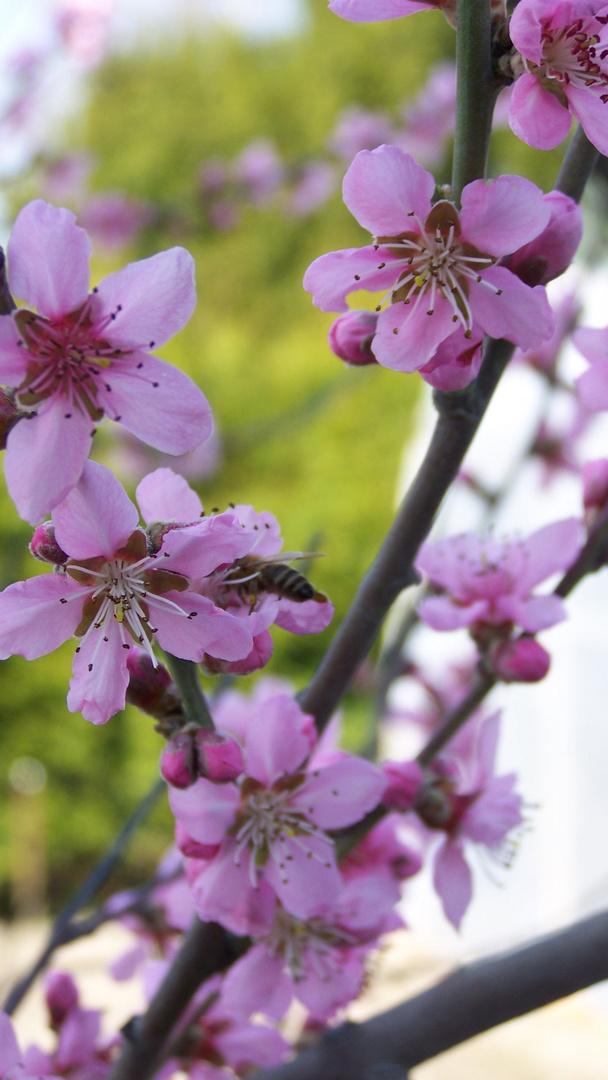 Biene auf Bergpfirsichblüte