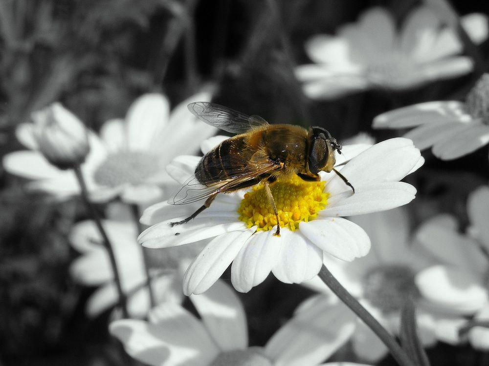 Biene auf Blume - Guten Appetit ;-)