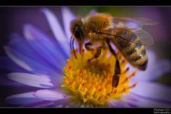 Biene auf Blume II