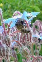 Biene auf Borretsch-Blüte