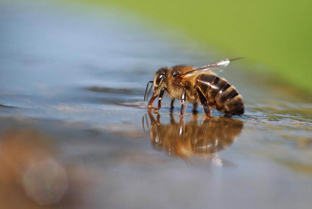 Biene auf Brunnenrand (2)