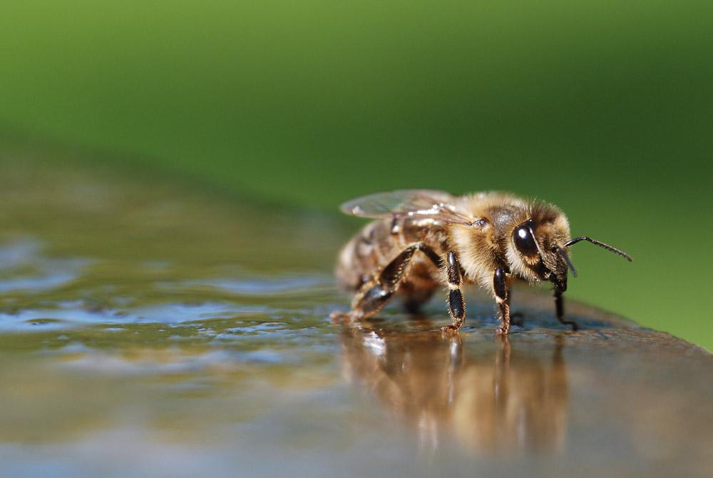Biene auf Brunnenrand (3)