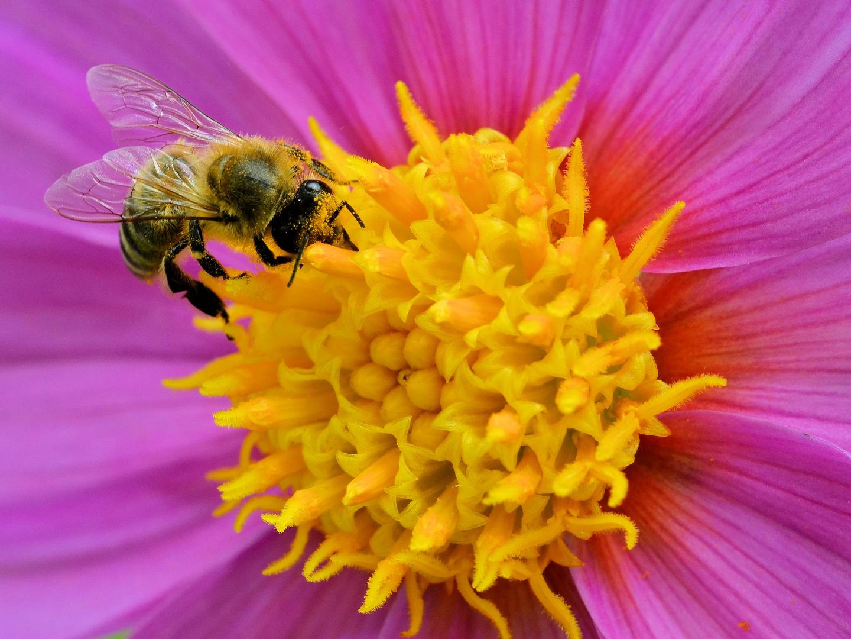 Biene auf Dahlie