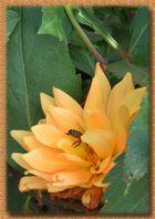 Biene auf Dahlie - sucht etwas Schutz,