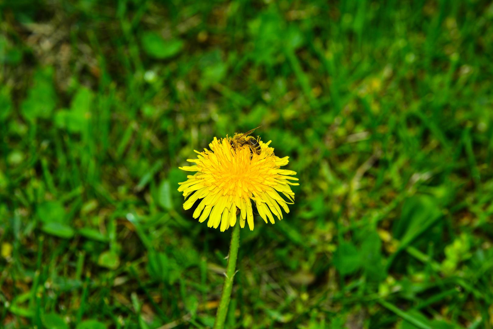 Biene auf der Blume