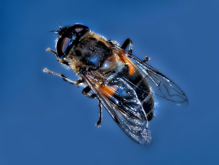 Biene auf der Fensterscheibe