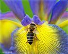 Biene auf der Iris Blüte am frühen Morgen