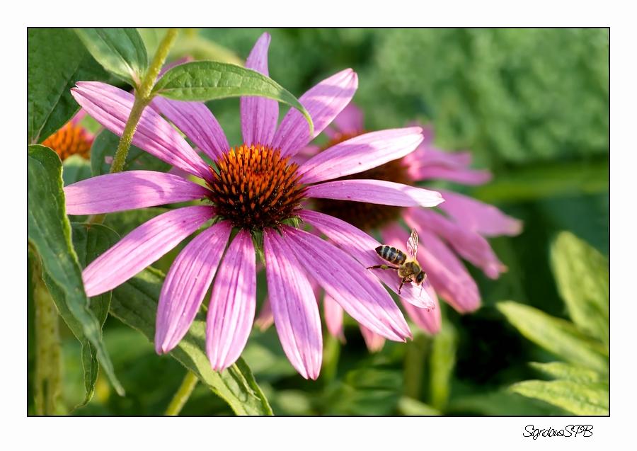 Biene auf der Suche....
