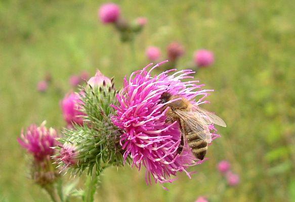 Biene auf Distel