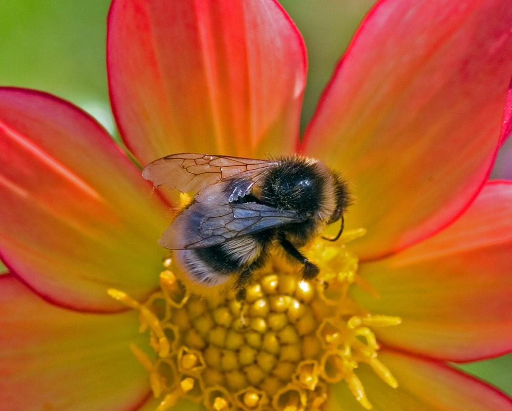 Biene auf Farbe