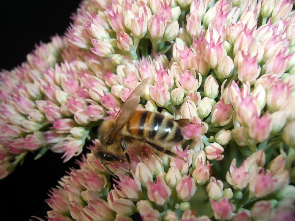 Biene auf fetthenne