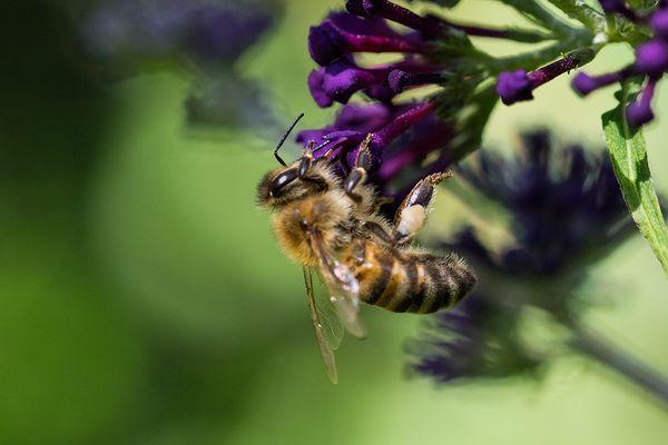 Biene auf Flieder