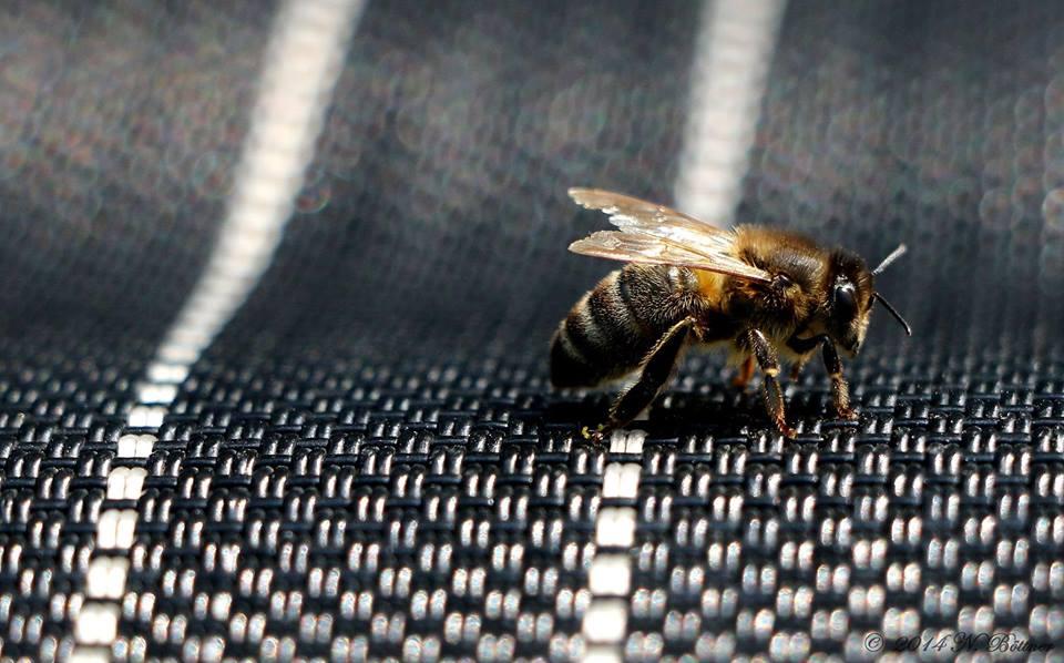 Biene auf Gartenstuhl