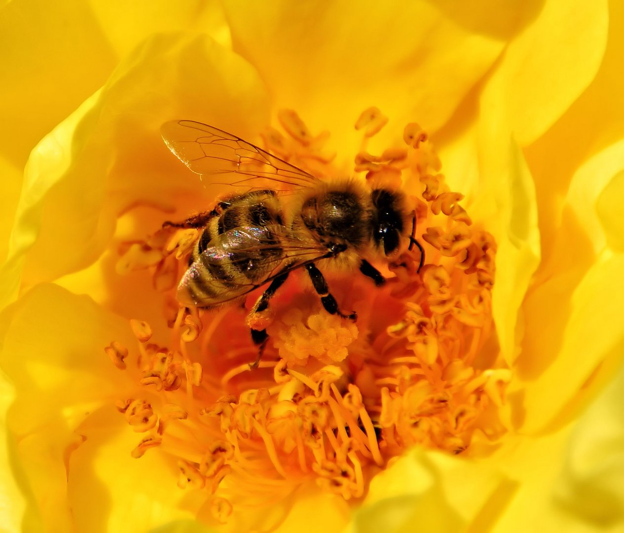 biene auf gelber rose