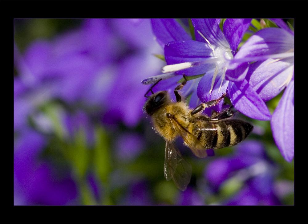 Biene auf Glockenblume