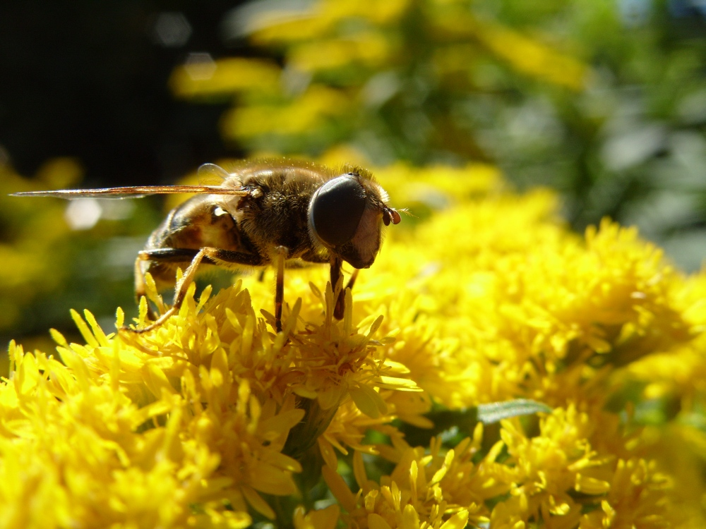 Biene auf Goldrute 1